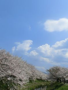 Sakura in Shirakashi