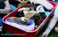 13 Useful Guinea Pig DIY Tutorials & Articles