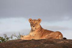 A very serene lion... Serengeti Migration Camp Image credit: Nahal Bhatt