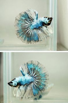 Betta fist are a fun beautiful fish that many people can have in their home with minimal effort. Pretty Fish, Cool Fish, Beautiful Fish, Animals Beautiful, Colorful Fish, Tropical Fish, Freshwater Aquarium, Aquarium Fish, Betta Fish Types