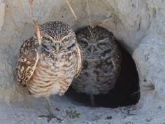 The annual Southwest Florida Burrowing Owl Festival celebrates and educates residents about Cape Coral's official city bird, the burrowing owl. (Photo: Special to Cape Life) Burrowing Owl, Florida Living, Cape Coral, Owls, Bird, Friends, Celebrities, Photos, Image