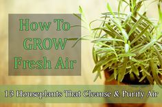 House Plants to put in your bedroom that help you sleep at night. How To GROW Fresh Air: 13 Houseplants That Cleanse & Purify The Air Air Plants, Garden Plants, Indoor Plants, Natural Life, Natural Living, Natural Foods, Fresco, Easy Plants To Grow, Bedroom Plants