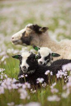 Farm Animals, Cute Animals, Lamas, Photo Animaliere, Cute Sheep, Baby Sheep, Sheep Farm, Sheep And Lamb, Baby Goats
