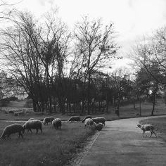 #sheep #nature #pretoebranco #blackandwhite #blackandwhiteisworththefight #blackandwhitephotography #monochrome #blancoynegro #preguicamagazine #oh_mag #p3top #gerador #royalsnappingartists #faded_world #achadosdasemana #chiquesnourtemo #portugaldenorteasul #portugalcomefeitos #jornalistasdeimagens #bw_awards #bnwmood #bnw_captures #bnw_life #bnw #flair_bw #rsa_bnw #instagram #pt_bnw_captions #super_portugal #super_lisboa by therealstormlx