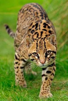 File:Ocelot (Leopardus pardalis) Leopardus Pardalis Standing Photograph by Pete Oxford.Wild Cats: The Ocelot kimcampion com. Small Wild Cats, Big Cats, Crazy Cats, Cats And Kittens, Ragdoll Kittens, Tabby Cats, Funny Kittens, Bengal Cats, White Kittens