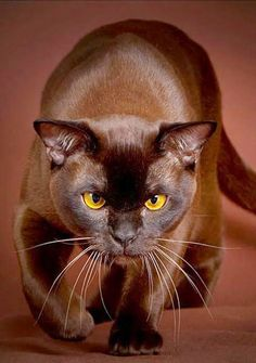 Ravenwhimsy's Wonderful World. Lovely brown Burmese.