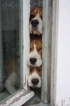 A Beagle az igazi örökre#orokre#forever