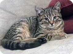 Westampton, NJ - Domestic Shorthair. Meet C-62268 Linus (In foster), a kitten for adoption. http://www.adoptapet.com/pet/12187956-westampton-new-jersey-kitten