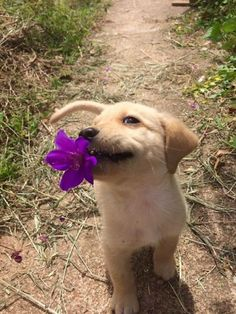 Golden Retriever Puppy With Flower #puppy #adorable #flowers #golden