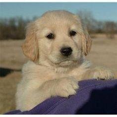 Golden Retriever puppy                                                                                                                                                                                 Mehr