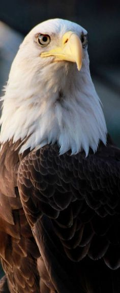 Bald eagle ...........click here to find out more http://googydog.com