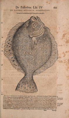Conradi Gesneri medici Tigurini Historiae animalium liber IV :. Francofurti :In Bibliopolio Andreae Cambieri,anno MDCIIII [1604]. biodiversitylibrary.org/page/42166292