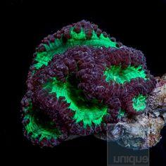 "Blastomussa wellsi - Aussie Pink Green Blasto - 2.5""  WYSIWYG Colony"