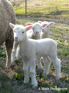 Reminds me of the lambs we'd see frolicking on the hillsides outside of Launceston, Tasmania, Australia