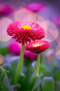 Spring Bellis by Peter Spellerberg on 500px