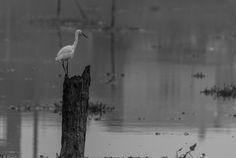 Little Egret (Kochi, India)