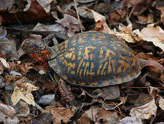 Cute Reptiles, Reptiles And Amphibians, Land Turtles, Box Turtles, Box Turtle Habitat, Dumpy Tree Frog, Blow Up Pool, Whites Tree Frog, Eastern Box Turtle