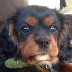 New in the life of Tempe!  Black and Tan Cavalier King Charles Spaniel