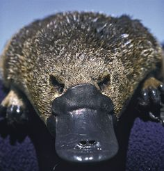 Duck Billed Platypus Facts Duck-billed Crazypus The Platypus looks like a bizarre combination of several animals and is a poster animal for the odd creatures to be found in Australia. Amphibians, Mammals, Duck Billed Platypus, Baby Platypus, Baby Animals, Cute Animals, Le Male, Australian Animals, All Gods Creatures