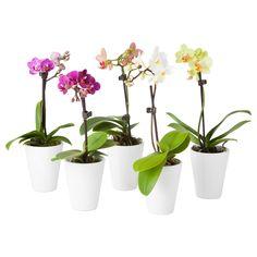 PHALAENOPSIS Viherkasvi ja ruukku - IKEA orchids 5,99