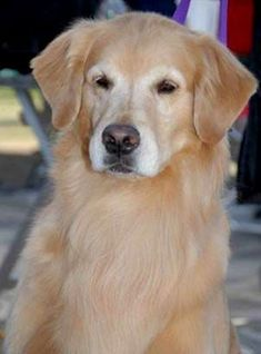 The Trustworthy Golden Retriever Pup Temperament Golden Retriever Rescue, Retriever Puppy, Golden Retrievers, Old Golden Retriever, Cute Puppies, Dogs And Puppies, Doggies, Fat Dogs, Pitbull