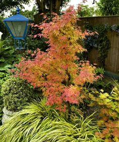 I love Japanese maples!  This one is called Orange Dream.