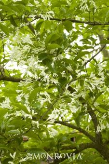 Chinese Fringe Tree - Monrovia - Chinese Fringe Tree- Deciduous - perfect for small yards- soft green leaves back magnificent clusters of fragrant fringe like blooms that are luminescent in the moon light