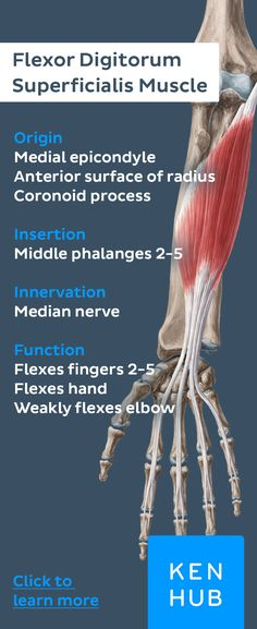 Re-pin to revise the #muscle facts about the flexor digitorum superficialis muscle with Kenhub #anatomy