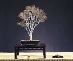 Broom style Bonsai, rectangular pot shown on table w/ accent. Notice placement, having few materials in the display: choice & position