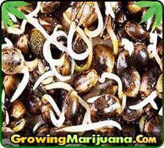 Step by Step Seed Germination http://www.growingmarijuana.com/seed-germination.php
