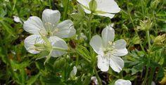 Geranium maculatum 'Album' op vasteplant.be