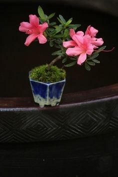 Beans bonsai Satsuki azalea, flowering is.Chocolate Bon people