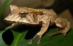 Image result for Hemiphractus Fasciatus