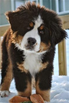 See more Bernese Mountain Dog puppy.