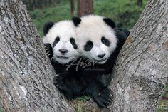 twin pandas #pandas #pandalovers #animals