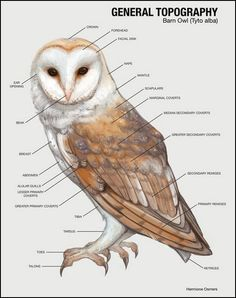 BARN OWLS Range A ll four of the Southwestern deserts. The barn owl occurs in great numbers in Southern California. Habitat H unts . Owl Bird, Bird Art, Pet Birds, Lechuza Tattoo, Owl Wings, Owl Photos, Barn Owl Pictures, Beautiful Owl, Snowy Owl