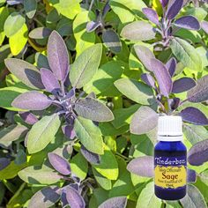 Sage Essential Oil (Salvia officinalis) for aromatherapy, skin care and natural perfumes. Tinderbox: supplying pure essential oils since Blue Glass Bottles, Sage Essential Oil, Citrus Oil, Clary Sage, Salvia, Raw Materials, Geraniums, Aromatherapy, Herbalism