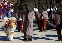 TAMU'S first look at Reveille IX the first lady of Aggieland. Reveille IX was preceded by REVEILLE VIIII. SHe is our official mascot. She also holds the highest rank in the Corps of Cadets and is the only bearer of 5 silver diamonds.