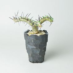 Rock Pot Sample + サルコカウロン・ヘレー(竜骨城) | 多肉植物・特別な鉢の販売 | トーキー | TOKY