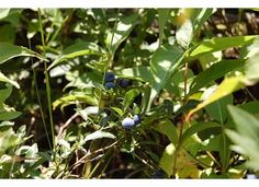Blueberries Shutterfly, Blueberries, Ontario, Memories, Plants, Memoirs, Berry, Souvenirs, Blueberry