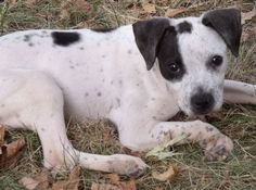 harlequin+pitbull   Cutie patootie   Adorable Pup   Pretty Girl   Too cute
