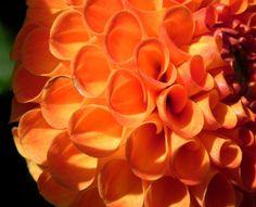 Pompon Dahlie Gefüllt Blüte Orange Dahlia X Hortensis