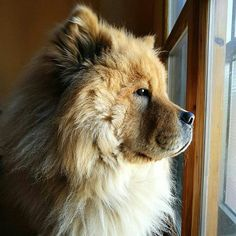 Quando il tuo umano esce e contempli l'orizzonte chiedendoti se tornerà o se ti ha abbandonato a casa da solo per sempre  #BauSocial  Foto di @ery_luca  Ma quanto è bello quando è pensieroso?! #chow #chowchow #cute #puppy #cutedog #dog #puppydog #sguardo #beltato #bestpic #photooftheweek #huawei #huaweip9 #nophotoshop #cane