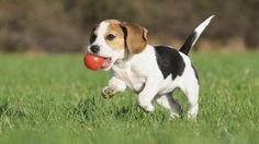 cachorro-beagle.jpg (950×534)