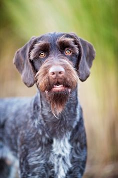 All About Energetic German Shorthaired Pointer Puppies Exercise Needs Gsp Puppies, Pointer Puppies, Pointer Dog, German Shorthaired Pointer Black, German Wirehaired Pointer, German Dogs, German Shepherd Puppies, I Love Dogs, Cute Dogs