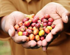 coffee's secret superfruit just so happens to be one of nature's best kept secrets. Previously, the bright, round cranberry-like fruit of the coffee plant was left behind after coffee harvesting, a valuable antioxidant resource discarded. Only recently was the casing that once nurtured and protected the coffee bean recognized for its health-enhancing properties. Now, from the coffee fields of Indonesia, bai brings the antioxidant benefits of coffeefruit directly to you. drinkbai.com