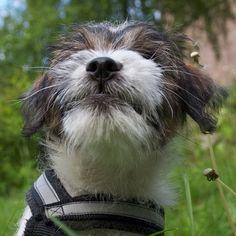 heididahlsveen:  This is what #grass do to you #atsjoo #puppy #pet #valp #hund #dog