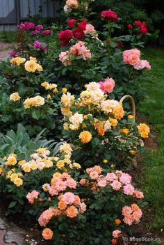 Garden Rose Garden Design Charmainekitch4014 On Pinterest