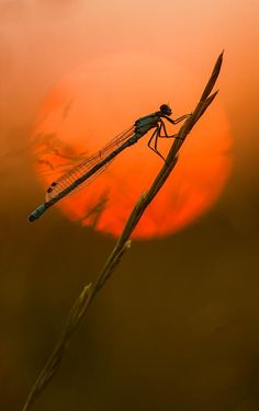 """wowtastic-nature:  Dragon Sunset IIbyGary Howellson 500px○Fuji S5 Pro, 502✱800px-rating:98.9☀""""A Damselfly settling down for the night as the sun dropped behind him. This is a straight shot ( other than some saturation) and not a composite..""""Photographer:Gary Howells, Wales"""