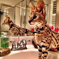 Beautiful serval